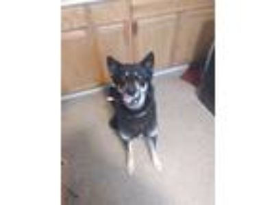Adopt Lucy a Black - with Tan, Yellow or Fawn German Shepherd Dog / Husky dog in