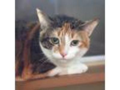 Adopt Mama a White Domestic Shorthair / Domestic Shorthair / Mixed cat in