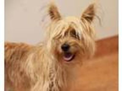 Adopt Ubbe a Yorkshire Terrier, Mixed Breed