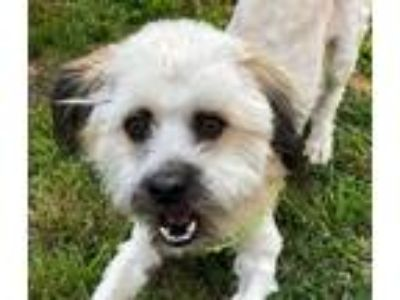 Adopt Toto a Tan/Yellow/Fawn - with White Tibetan Terrier / Terrier (Unknown