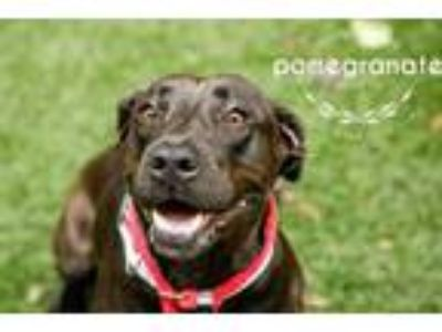 Adopt Pomegranate a Black American Pit Bull Terrier / Mixed dog in Kansas City