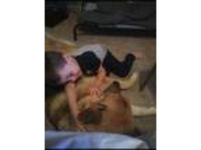 Adopt Zazu a Tan/Yellow/Fawn German Shepherd Dog / Mixed dog in Mesa