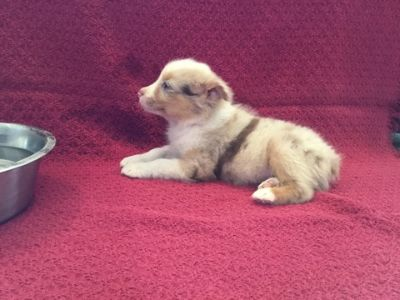 Australian Shepherd PUPPY FOR SALE ADN-88986 - Male Mini Red Merle Australian Shepherd