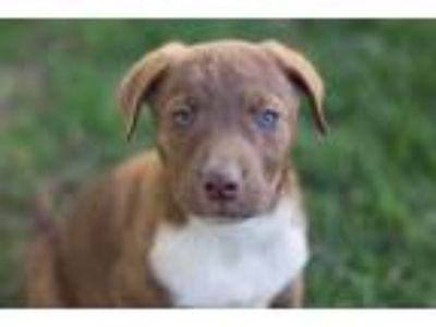 Adopt Puppies a Brown/Chocolate - with Tan Labrador Retriever / Rottweiler /