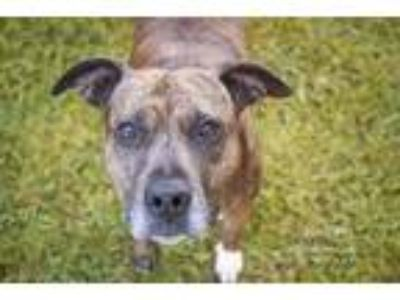 Adopt Juniper a Brindle American Staffordshire Terrier / Mixed dog in Houston