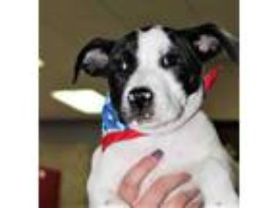 Adopt Stubby a White American Pit Bull Terrier / Mixed dog in Spartanburg