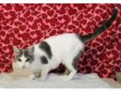 Adopt Meowtha Stewart a White (Mostly) Domestic Shorthair (short coat) cat in