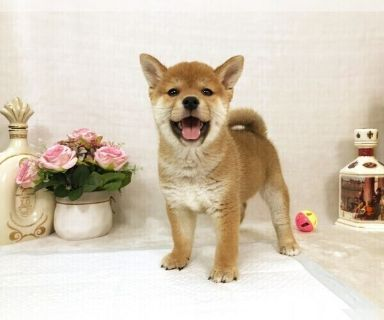 Shiba Inu PUPPY FOR SALE ADN-131325 - MOST PERFECT Red Shiba Inu LA SF NY SEA CHI