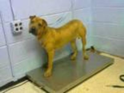 Adopt FRENCH TOAST a Shar-Pei