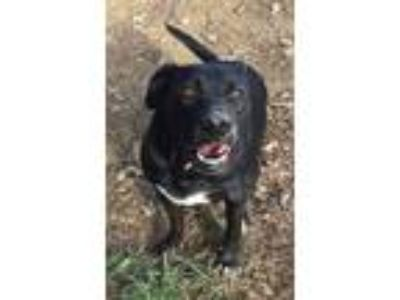 Adopt Mandy a Labrador Retriever, German Shepherd Dog