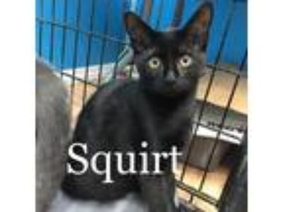 Adopt Squirt a All Black Domestic Shorthair / Mixed (short coat) cat in