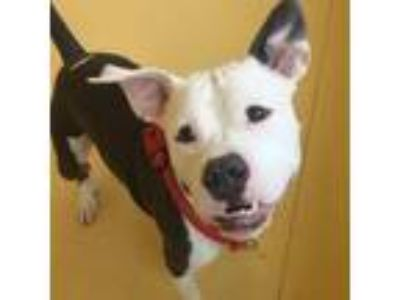 Adopt Baloo a Gray/Silver/Salt & Pepper - with Black Pit Bull Terrier dog in