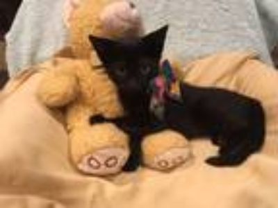 Adopt Apollo a All Black Domestic Shorthair (short coat) cat in Metairie