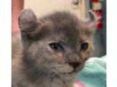 Adopt Permelia a Gray or Blue American Curl / Mixed cat in West Memphis