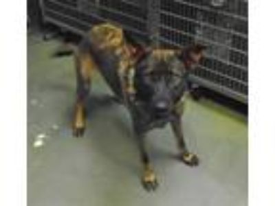 Adopt Max a German Shepherd Dog / Mixed dog in Raleigh, NC (25892882)