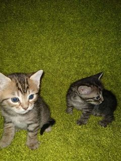 bengal kittens mixed with siberian for sale