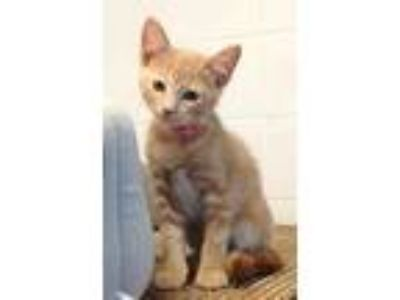 Adopt Havana a Orange or Red Domestic Shorthair / Domestic Shorthair / Mixed cat
