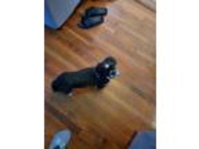 Adopt Dj a Black - with White Shih Tzu dog in Brooklyn, NY (25854483)