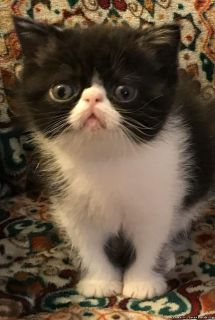 CFA Reg Exotic Shorthair and Persian Kittens for Sale