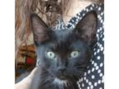 Adopt Molly a All Black Domestic Shorthair cat in Meridian, ID (25852340)