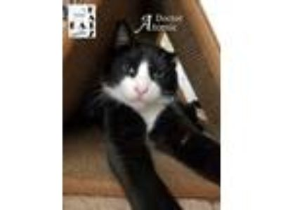 Adopt Doctor Atomic a Domestic Short Hair