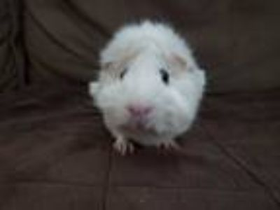 Adopt Tofu a Guinea Pig (short coat) small animal in Harleysville, PA (25311654)