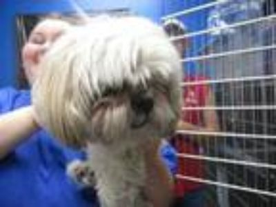 Adopt Spinster (See Memo) a White Shih Tzu / Mixed dog in Columbiana