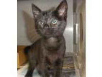 Adopt ZOEY a All Black Domestic Shorthair / Mixed (short coat) cat in San Luis