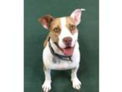 Adopt Dolly a White - with Tan, Yellow or Fawn Boxer / American Pit Bull Terrier