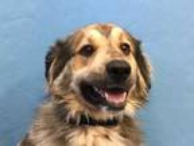 Adopt Ghost a Red/Golden/Orange/Chestnut Great Pyrenees / Husky / Mixed dog in