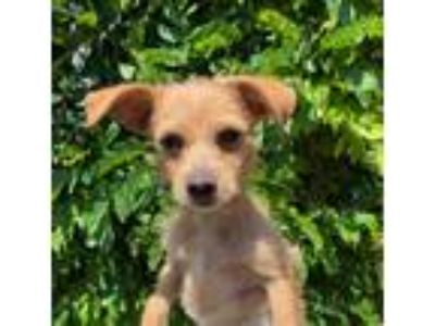 Adopt FIONA a Tan/Yellow/Fawn - with White Terrier (Unknown Type