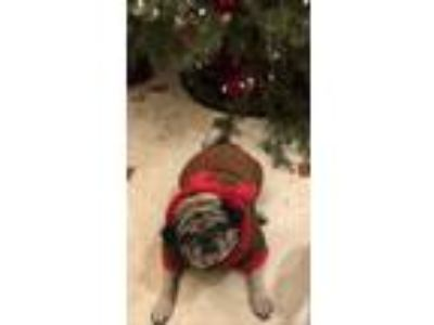 Adopt Tely a Tan/Yellow/Fawn - with Black Pug / Mixed dog in Whitestone