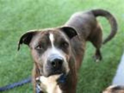 Adopt SKIPPY RYDER a Brindle American Pit Bull Terrier / Mixed dog in Grand