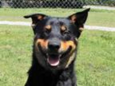 Adopt Rex 5882 a Rottweiler, Mixed Breed