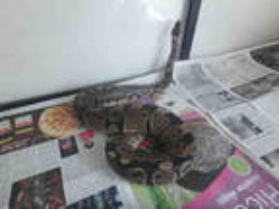 Adopt SLICK a Snake / Mixed reptile, amphibian, and/or fish in Van Nuys