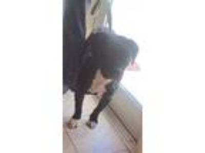 Adopt NELSON a Black American Pit Bull Terrier / Mixed dog in St.