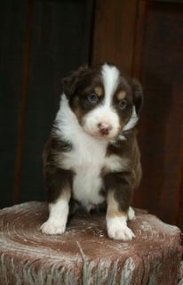 Miniature American Shepherd PUPPY FOR SALE ADN-96773 - Show prospect red tri male