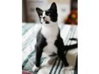 Adopt Taffy a Domestic Short Hair, Tuxedo