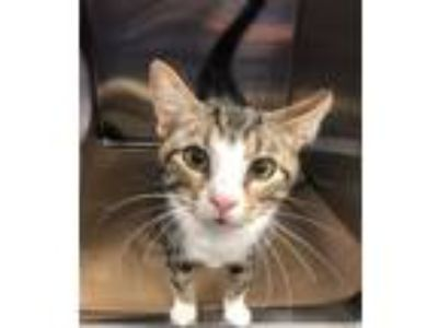 Adopt Marcus a Domestic Short Hair