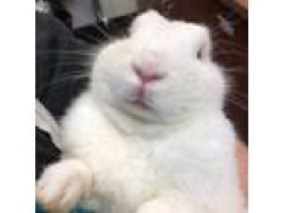 Adopt Knox a White Other/Unknown / Mixed rabbit in Merriam, KS (25617927)