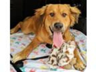 Adopt Bozo a Tan/Yellow/Fawn Golden Retriever / Mixed dog in BIRMINGHAM