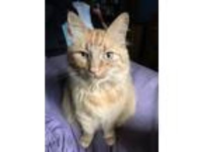 Adopt Mo a Orange or Red Domestic Longhair cat in Kent, WA (24990744)