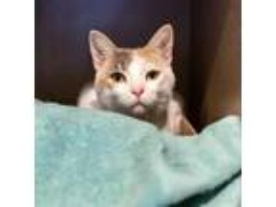 Adopt Grace a White Domestic Shorthair / Domestic Shorthair / Mixed cat in