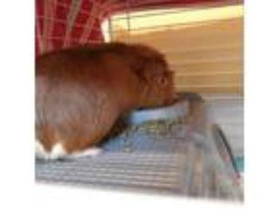 Adopt Ginger a Guinea Pig small animal in Lynchburg, VA (25313040)