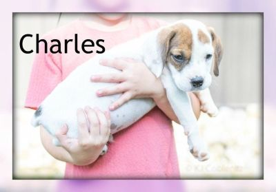 Charles: Male Beabull Puppy