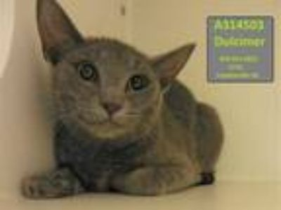 Adopt DULCIMER a Gray or Blue Domestic Shorthair / Mixed (short coat) cat in