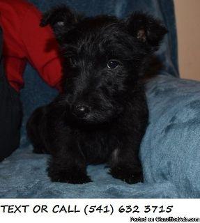 WEOND *^&!)Cute,Scottish Terrier Puppies