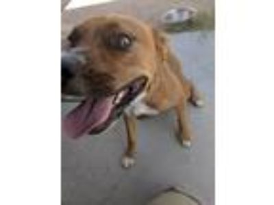 Adopt Deni a Brown/Chocolate Boxer / Mixed dog in Tucson, AZ (22779344)