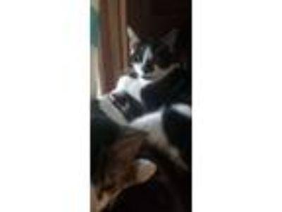 Adopt Oreo a Black & White or Tuxedo Domestic Shorthair cat in Hawthorne