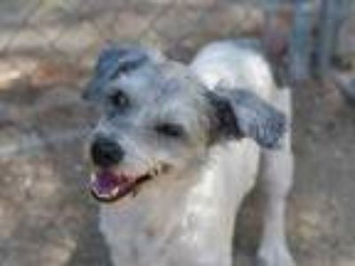 Adopt SUNNY a White - with Gray or Silver Havanese / Havanese / Mixed dog in